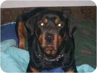 Rottweiler Dog for adoption in Westford, Massachusetts - Tasha