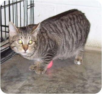 Domestic Shorthair Cat for adoption in Somerset, Pennsylvania - Ralph (Jorge)