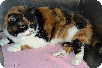 Persian Cat for adoption in Elyria, Ohio - Nikki