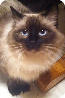Ragdoll Cat for adoption in Nolensville, Tennessee - Annabelle