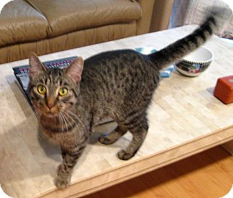 Abyssinian Cat for adoption in Troy, Michigan - Levi