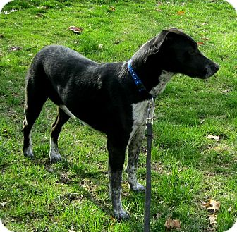 German Shorthaired Pointer/Labrador Retriever Mix Puppy for adoption in Cantrall, Illinois - Millie