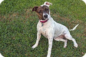 Pointer/Plott Hound Mix Dog for adoption in Austin, Texas - Stella