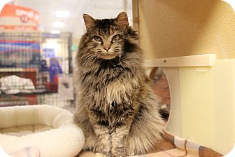 Maine Coon Cat for adoption in Rochester, Minnesota - Rose Marie