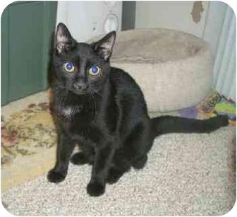 Domestic Shorthair Cat for adoption in Laurel, Maryland - Ursa Major