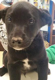 Catahoula Leopard Dog/Sheltie, Shetland Sheepdog Mix Puppy for adoption in Adrian, Michigan - Diesel