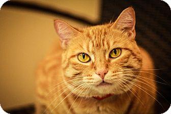 Domestic Shorthair Cat for adoption in Oak Park, Illinois - Star