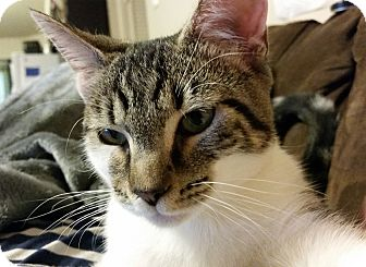 Domestic Shorthair Cat for adoption in Arlington/Ft Worth, Texas - Stormy