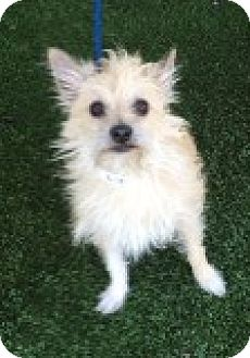 Terrier (Unknown Type, Small) Mix Dog for adoption in Las Vegas, Nevada - Jammer