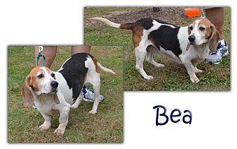 Basset Hound Dog for adoption in Marietta, Georgia - Bea