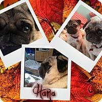 Adopt A Pet :: Hana - Walled Lake, MI