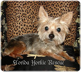 Yorkie, Yorkshire Terrier Dog for adoption in Palm City, Florida - MISTY