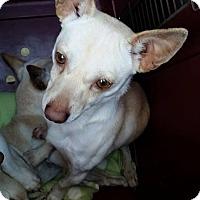 Adopt A Pet :: Dane - Gainesville, FL