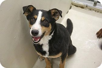 Border Collie Mix Dog for adoption in Allen, Texas - Winston
