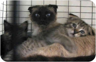 Scottish Fold Kitten for adoption in Davis, California - Scottish Fold Family