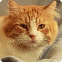 Domestic Mediumhair Cat for adoption in Savannah, Missouri - Griffin