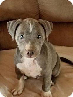 American Pit Bull Terrier Dog for adoption in PEORIA, Arizona - Lil Nicky