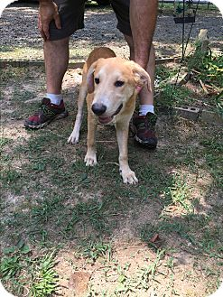 Australian Shepherd/Labrador Retriever Mix Puppy for adoption in Haggerstown, Maryland - Griffon