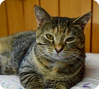 Domestic Shorthair Cat for adoption in Des Moines, Iowa - Connie
