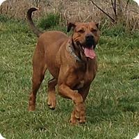 Adopt A Pet :: Bella - Bakersville, NC