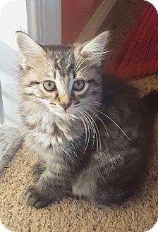 Domestic Longhair Kitten for adoption in Colmar, Pennsylvania - Fluff'n'Nutter-Pending!