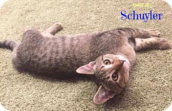 Domestic Shorthair Kitten for adoption in West Des Moines, Iowa - Schuyler