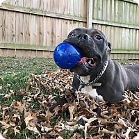 Adopt A Pet :: Oz - Des Peres, MO