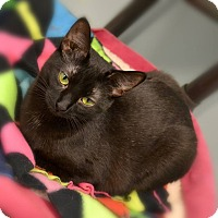 Adopt A Pet :: Diamond - Byron Center, MI