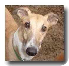Greyhound Dog for adoption in Roanoke, Virginia - Tony