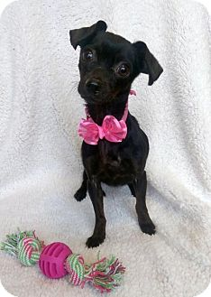 Chihuahua Mix Puppy for adoption in Newark, Delaware - Sadie