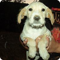 Adopt A Pet :: MIXED LAB PUPS D - Corona, CA