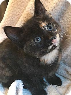 Domestic Shorthair Kitten for adoption in Montreal, Quebec - Tiramisu