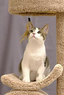 Domestic Shorthair Kitten for adoption in Shakopee, Minnesota - Cheeka C1890