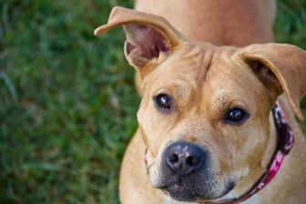 American Pit Bull Terrier Mix Dog for adoption in Frederick, Maryland - SHADOW