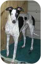 Greyhound Mix Dog for adoption in Bunnell, Florida - Auto