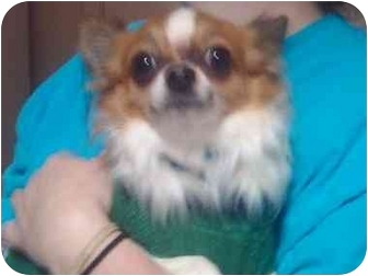Chihuahua Puppy for adoption in Reno, Nevada - Justice