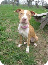 American Pit Bull Terrier Puppy for adoption in Norwalk, Ohio - Piper