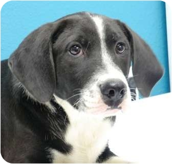 Labrador Retriever Mix Dog for adoption in Haughton, Louisiana - Sabine kill shelter (Elton)