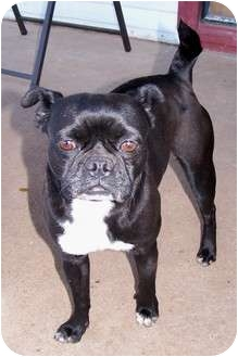 Boston Terrier Dog for adoption in San Angelo, Texas - Ruby