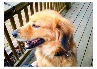Golden Retriever Mix Dog for adoption in Knoxville, Tennessee - Barley