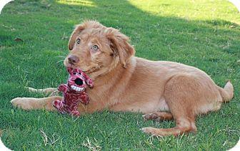 Golden Retriever Mix Puppy for adoption in Hamburg, Pennsylvania - Molly
