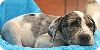 Australian Shepherd Mix Puppy for adoption in Houston, Texas - Trinidad