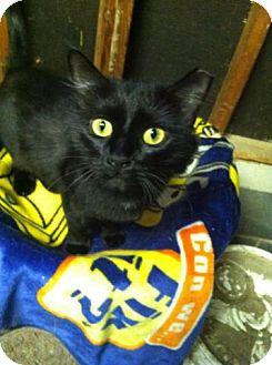 Domestic Longhair Cat for adoption in Riverhead, New York - Luka