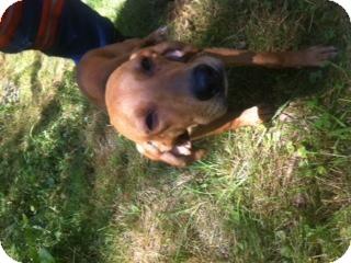 Redbone Coonhound/Plott Hound Mix Puppy for adoption in Maysel, West Virginia - June PENDING