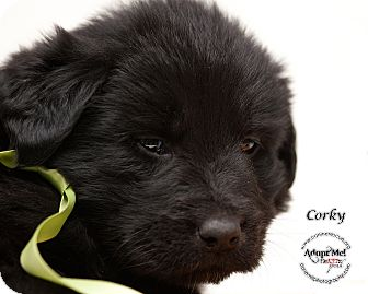 Labrador Retriever Mix Puppy for adoption in Westfield, New York - Corky