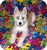 Fox Terrier (Wirehaired)/Husky Mix Dog for adoption in Huntsville, Alabama - Izzy