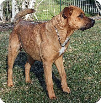Shepherd (Unknown Type)/Rhodesian Ridgeback Mix Dog for adoption in Colville, Washington - Kayla