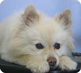 Pomeranian Dog for adoption in Kansas City, Missouri - Skyler