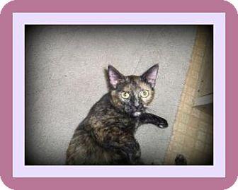 Calico Cat for adoption in Medford, Wisconsin - EDIE