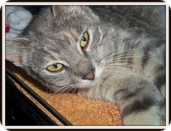 Domestic Shorthair Cat for adoption in Medford, Wisconsin - ANNABELL